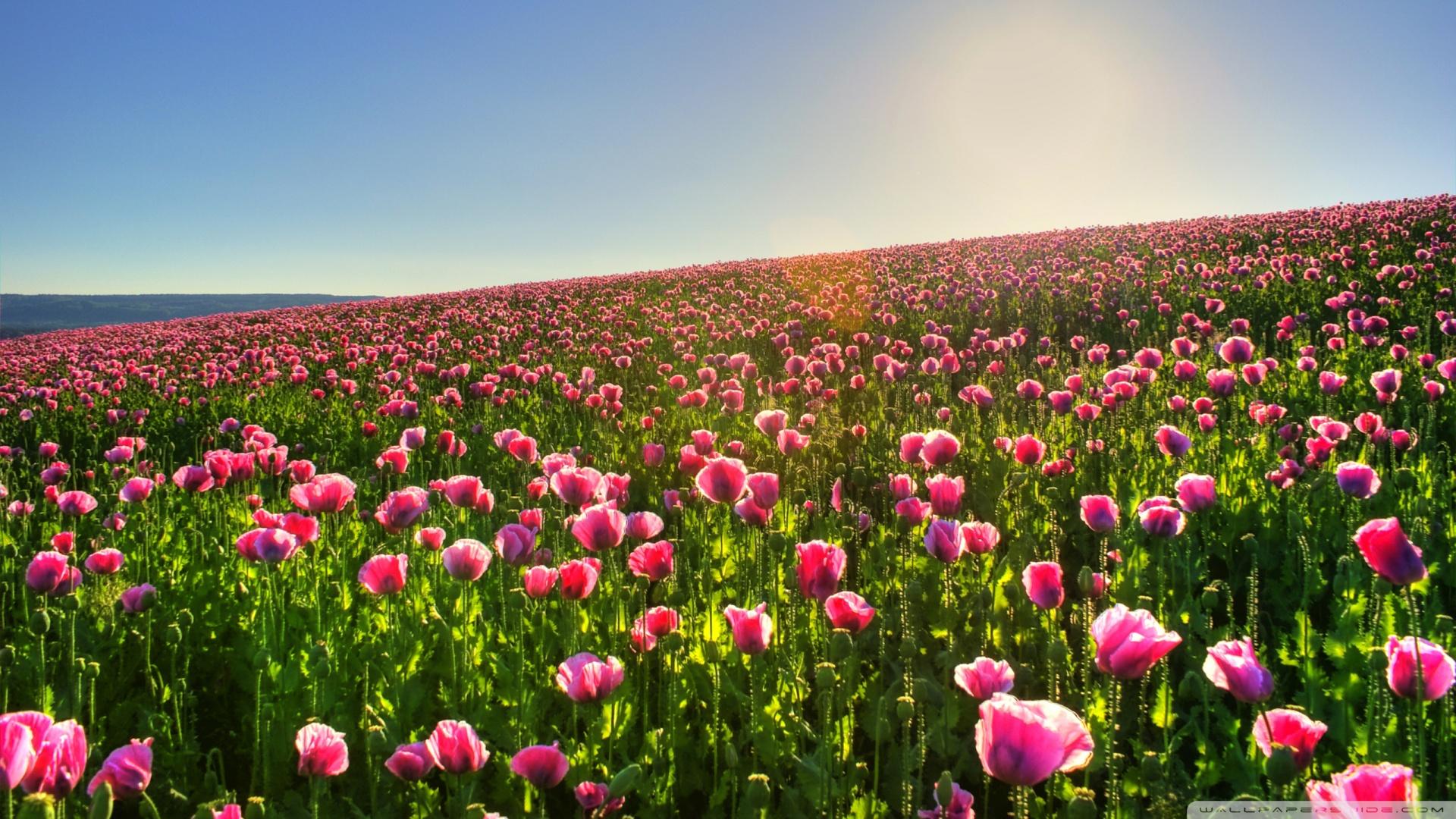 beautiful_flower_field-wallpaper-1920x1080